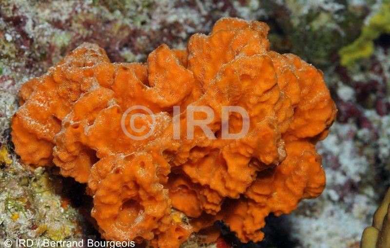 Orange Sponges In Florida Natural History